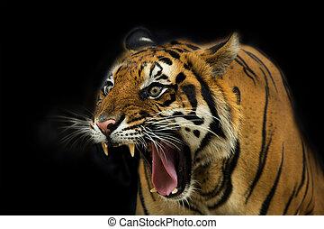 tiger, pronto, attacco