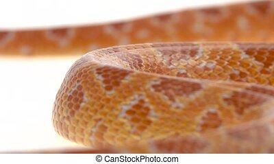 Tiger Python molurus bivittatus morph albine burmese in ...