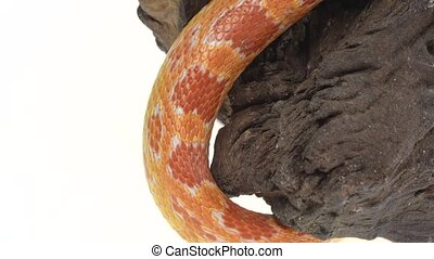 Tiger Python molurus bivittatus morph albine burmese on ...