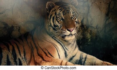 Tiger Relaxing In Dark Cave - Large Bengal tiger keeping...