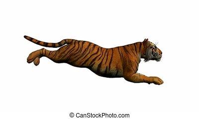 tiger, rennender