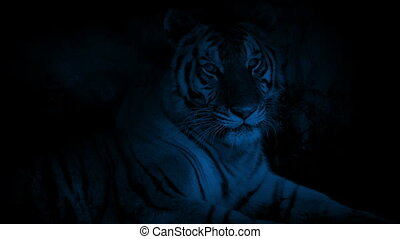 Tiger Resting In Cave At Night - Tiger rests in cave...