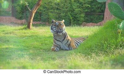 Tiger resting in national park.