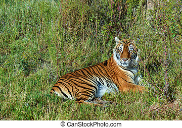 Tiger Resting in the Long Grass
