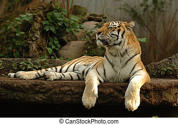 Tiger resting - Tiger is resting in the shade