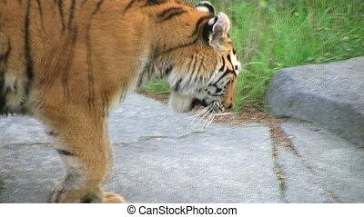 Tiger Rests On Rock 02