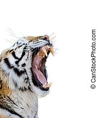 tiger, ringhiare