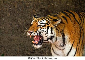 Tiger roar - Portrait of a tiger roaring