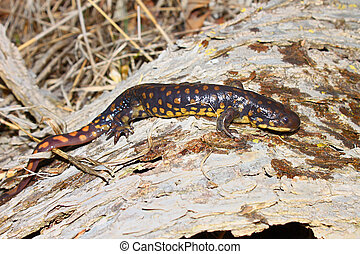 Tiger Salamander (Ambystoma tigrinum)