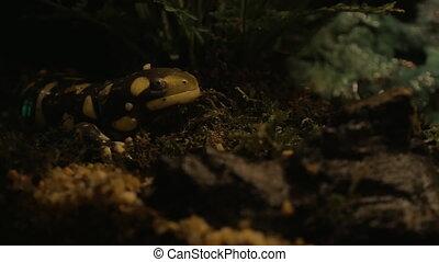 Tiger salamander in the terrarium of oceanarium exposition. Animal has conservation status