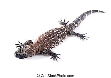 tiger salamander - Tiger salamander wild animal in white...