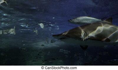 Tiger shark in 4K - Tight shot of a tiger shark. 4K footage.