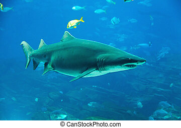 Tiger shark - Underwater image of a tiger shark and fish
