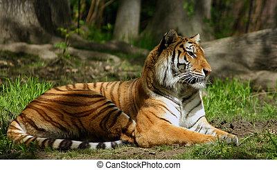 tiger, siberian