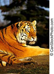 tiger, siberisch