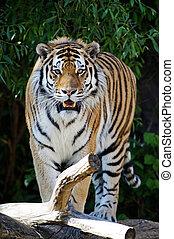 tiger, sibirisch