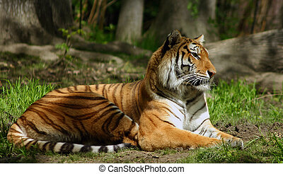 tiger, sibirisk