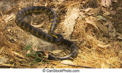 Tiger Snake On Leaves - Steady, high angle, medium close up...