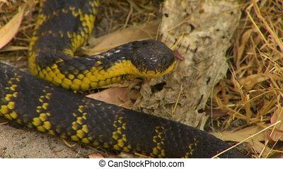 Tiger Snake Staring At Camera - Steady, close up shot of a...