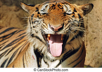 tiger, spragniony