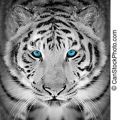tiger, stående, in, vinter tajma, med, blåttar synar