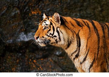 tiger, Stående, sibirisk