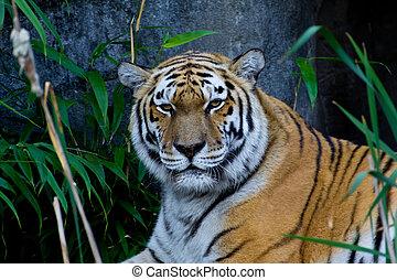 tiger, stående
