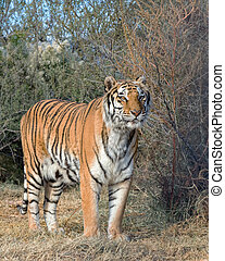 Tiger standing in the Brush