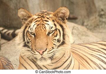 tiger, starren