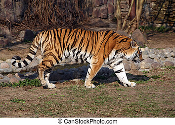 Tiger in Moscow zoo