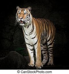 Tiger looking for prey