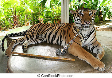 Tiger. - Giant tiger being held in captivity at a zoo.