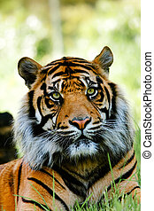 Tiger - Colour portrait of tiger.