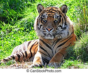 Tiger - Portrait of an adult male Asian tiger with...