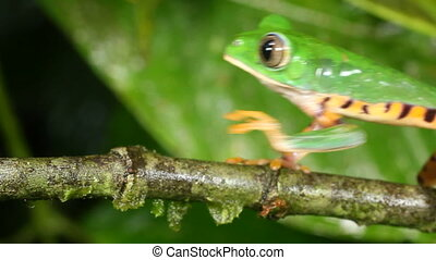 Tiger-striped Leaf Frog - Phyllomedusa tomopterna,Walking...