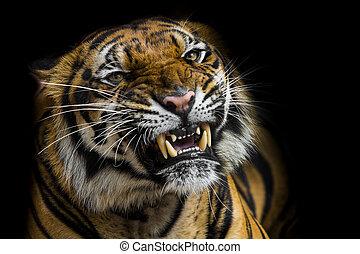 tiger, sumatran, 吠え声