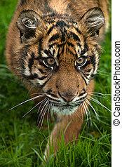 tiger, sumatran, 幼獣