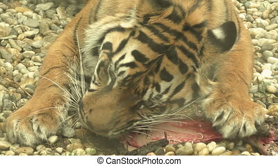 Tiger sumatran eating his lunch, Panthera tigris sumatrae