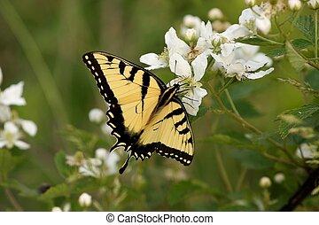 Tiger Swallowtail #2