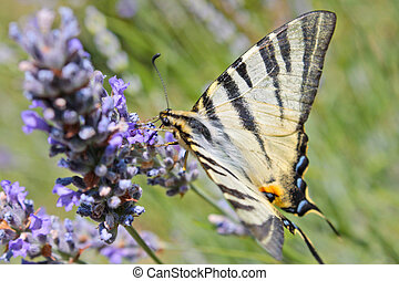Tiger Swallowtail butterfly on lavender flower