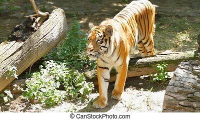 tiger, syberyjski