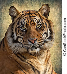 Tiger - The Bengal tiger, or Royal Bengal tiger Panthera...