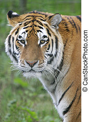 A Siberian tiger stares into the lens
