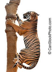 Tiger trainning