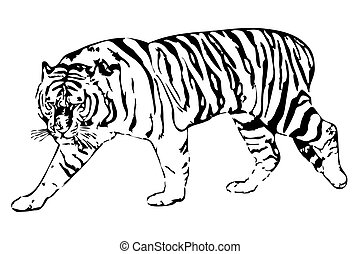 Tiger - vector illustration of the white tiger on a white ...