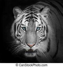 tiger, vit