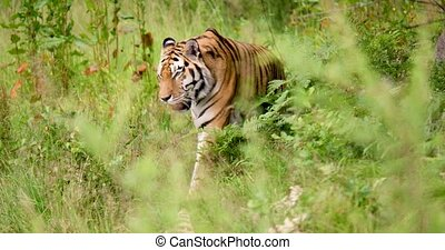 Tiger walking amidst plants in forest - Handheld shot of ...
