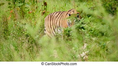 Tiger walking amidst plants in wilderness area - Handheld ...