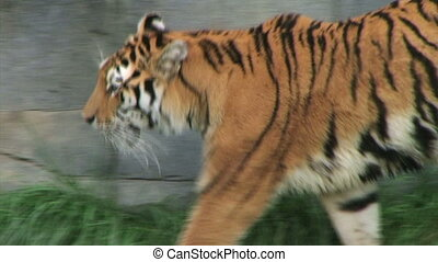 Tiger Walking and Watching - Siberian tiger walking and...