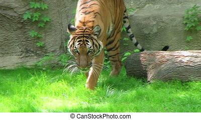 Siberian tiger walking in grass.